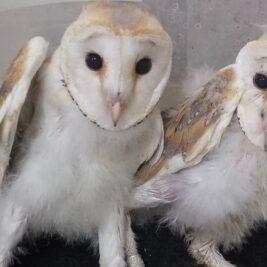 טיפול בינשופים, גוזלים ועופות שונים במרפאה לחיות בר